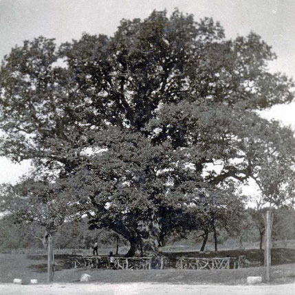 Königseiche um 1907, Foto von Erika Meyer