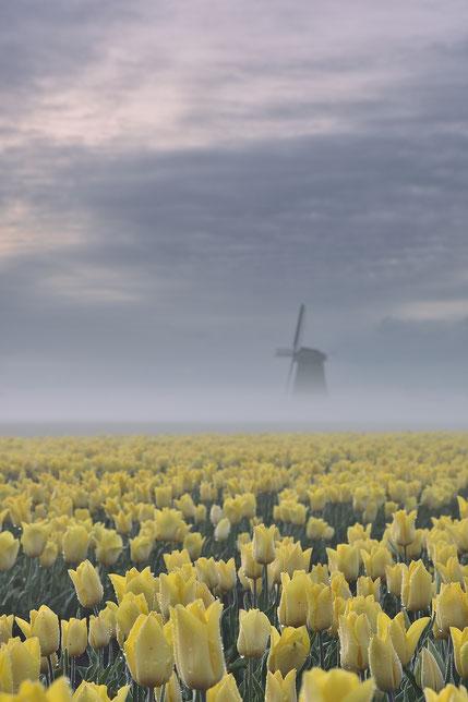 606 Gele tulpen met molen met mist (3960)
