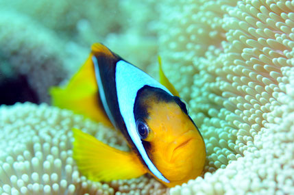 poisson clown Amphiprion clarkii Abu Fendira mer Rouge Egypte