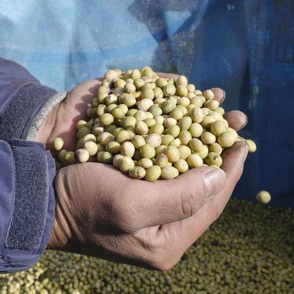 丹精込めて育てた大豆