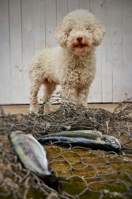 Spanischer Wasserhund-Perro de agua Espanol - perro-nord