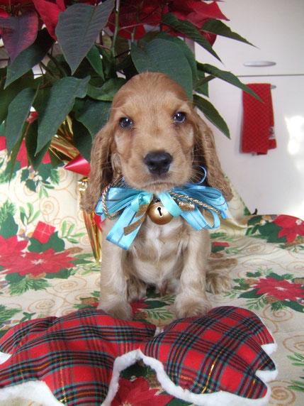 Cucciolo Dellyllè ,maschio fulvo (adottato)