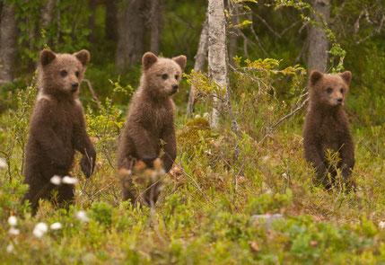 Wildlife watching - Wild Taiga