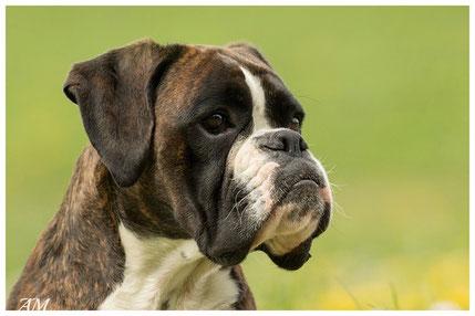 Boxer Hund vonderwaldnielerheide Europasieger
