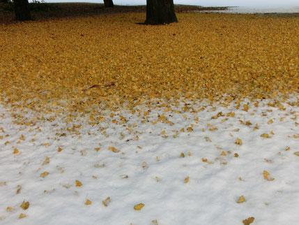 ●イチョウの落ち葉に雪が積もるめずらしい光景(野川公園にて)