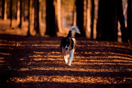 un chien noir et blanc se proméne dans les bois à l'automne par coach canin 16 educateur canin a angouleme