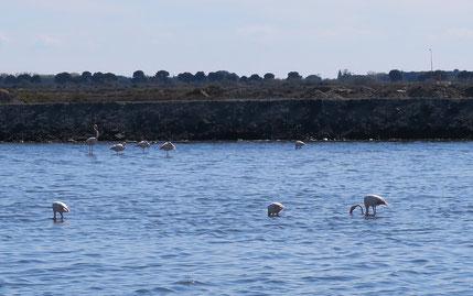 Bild: in den Salinen von Aigues-Mortes