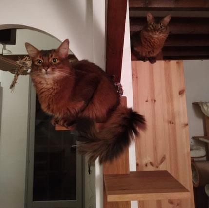 Deux minous qui vivent maintenant en harmonie : Lórien de Cadicha (à gauche) et Maïkan de la Magie des Licornes (à droite)