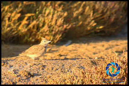 Crested Lark on sand