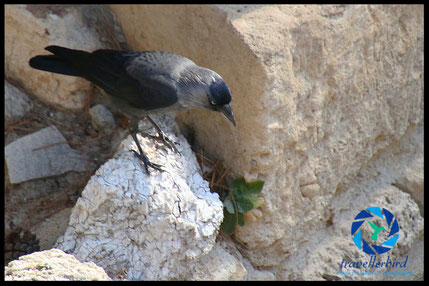 Jackdaw in Knossos