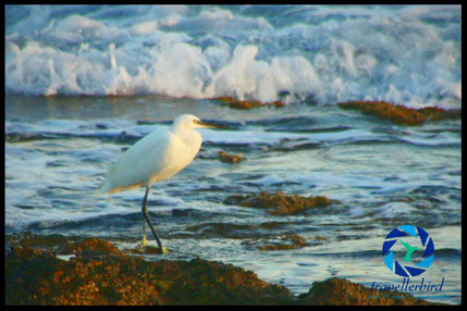 little egret on the shores
