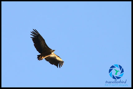 griffon vulture in the sky