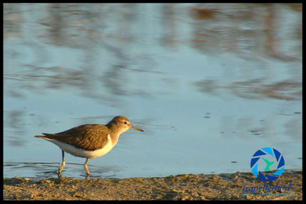 Common sandpiper on water