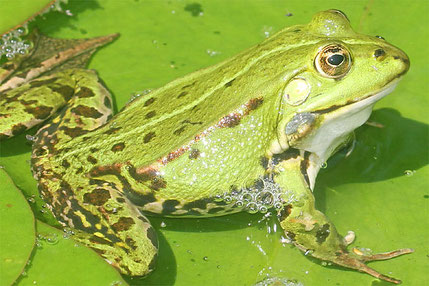 Wasserfrosch Foto: Helge May