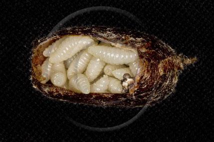 Uff! Nach diesem kleinen Intermezzo sind alle 30 Larven der Erzwespenart  Monodontomerus obsoletus wieder vorschriftsgemäß verstaut. Wird auch nicht wieder vorkommen! Wenn alles gut geht, schlüpfen ab Juni die fertig entwickelten Erzwespen.