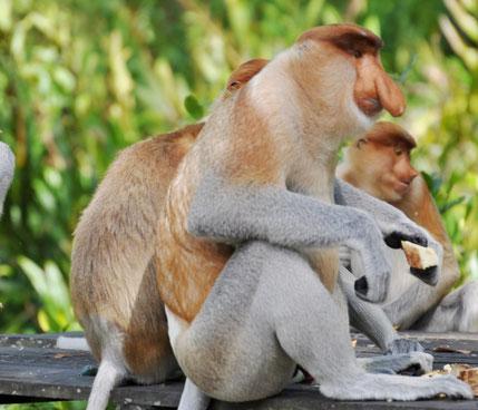 Unieke neusaap in de jungle van Sukau in Sabah op Maleisisch Borneo