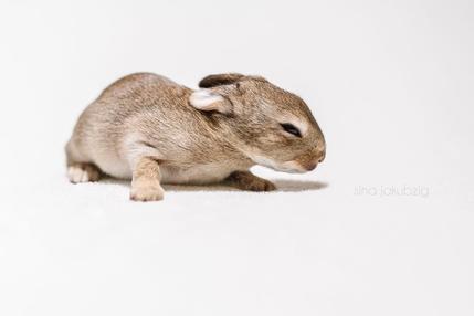 Vergleich zwischen Feldhasenbaby und Wildkaninchenbaby