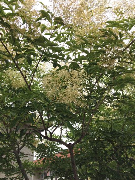 6月に花が咲くおすすめの植木 シマトネリコ 花をつけています