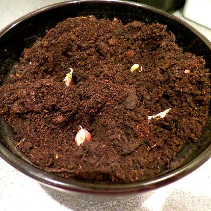 knoflook tenen planten