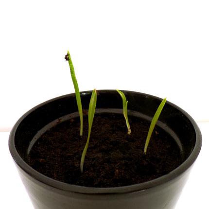 knoflookplanten