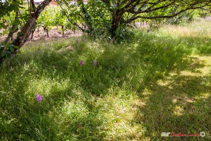 Ancienne zone de tonte laissée en jachère en 2018. Les Orchis pyramidal sont les plus visibles par rapport aux Ophrys abeille