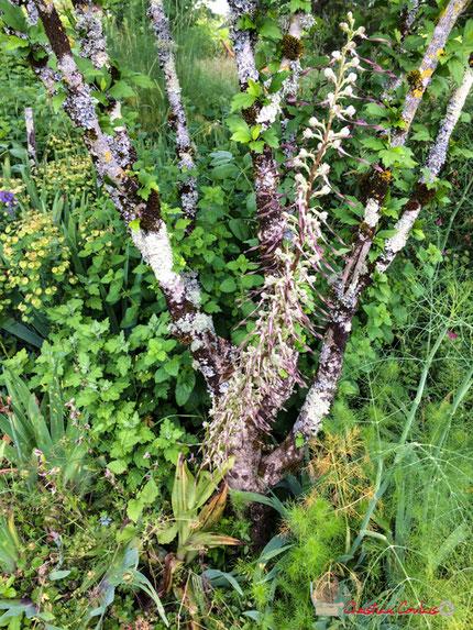 14 juin 2018. Orchis bouc, Himantoglossum hircinum. 1,26m de haut. Cénac Photographie Christian Coulais