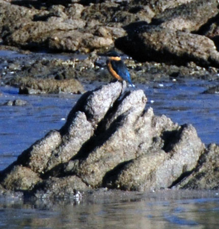 Kingfisher on the Taupo Head walk, Golden Bay.