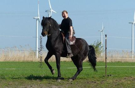 Glamorgan Damien, Finn`s Vater: das Ideal des Morgan Horses. Bis zur Hohen Schule ausgebildet von Besitzerin Susen Fischer-Henkel