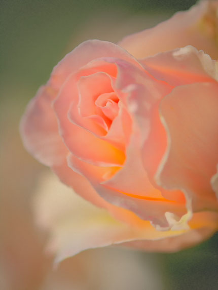 La galerie de Mateo, Mateo Brigande, fleurs, botanique, nature, végétaux, macro, rose