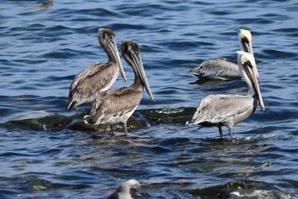 Auch viele Pelikane verbringen den Winter in der Baja