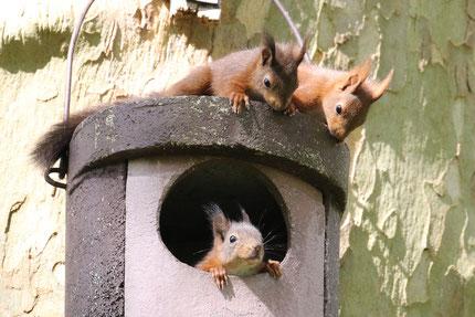 Eichhörnchen-Junge. Foto: NABU / Wilfried Martin