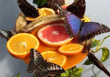 Tervete Butterflies