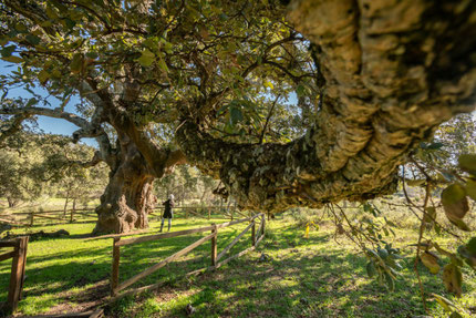 Giant trees in the Ambroz Valley