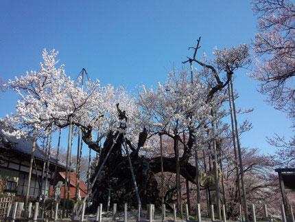 樹齢二千年、実相寺の神代桜