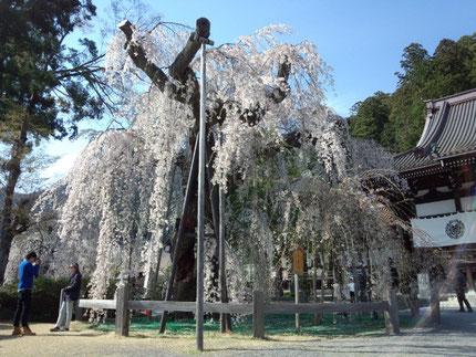 身延山久遠時の枝垂桜