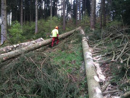 Holzernte / Durchforstung im Wald