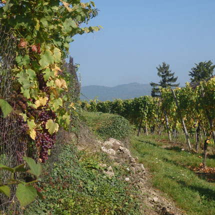 Dans les vignes à Hunawihr (Haut-Rhin/France - Octobre 2014)