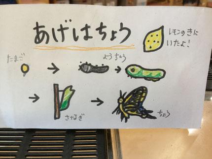 レモンの木にいたアゲハチョウの幼虫が蝶になりました。
