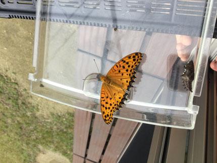 な・な・なんと!   園でお世話しているツマグロヒョウモンの幼虫が、 ちょうちょになりました。元気に飛び立っていきました。