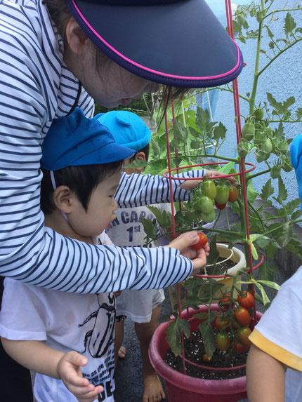 みんなが植えた、トマトが大きくなったので、ひかりぐみのお友達が、収穫してくれました。