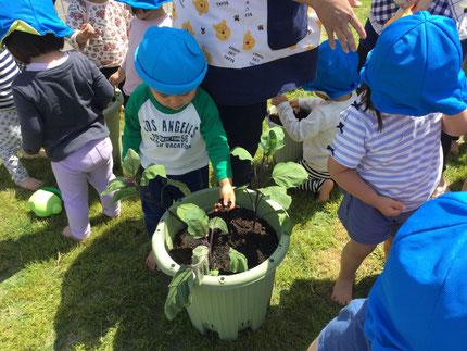 こちらは、苗です。苗を入れて、土を入れて植えました。