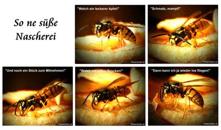 Die Wespen sind recht emsig