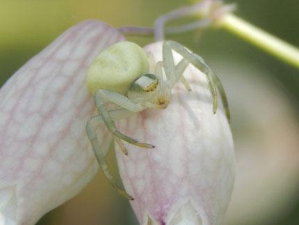 Mit den Hinterbeinen hält sie sich an der Blüte fest und mit den vorderen 4 Beinen schlägt sie blitzschnell zu. Der Kopf bei den Männchen ist dunkler und sie sind auch kleiner.