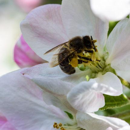 Abeille et fleur de pommier