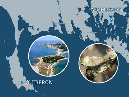 Huitres creuses L'Estran baie de Quiberon et Larmor Baden
