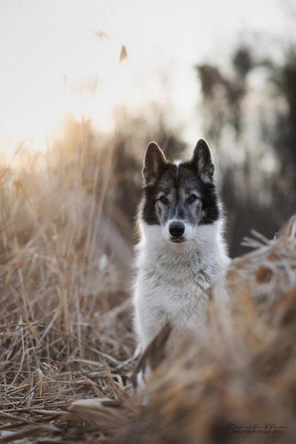 Grönlandhund im Gegenlicht
