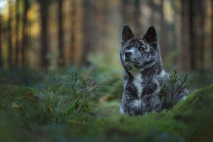 Akita Hündin im Herbstwald