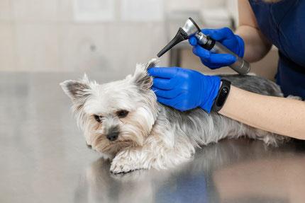 Examen par le vétérinaire de l'oreille d'un petit  Yorkshire Terrier