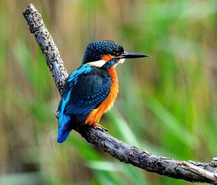 Kleurrijke Kingfisher vogel in de natuur van Borneo in Maleisië