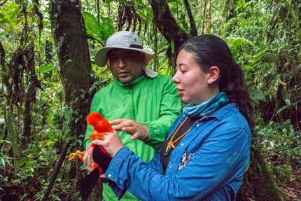 Anillamiento científico de un macho de Tunki o Gallito de las Rocas (Rupicola peruvianus saturatus)